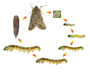 Sublethal Effects of Some Essential Oils on the Developmental and Reproduction of the Spodoptera littoralis (Boisduval)